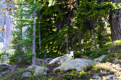 Strong wild mountain goat chilling in North Cascades National Park