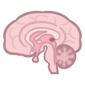 脳 断面図