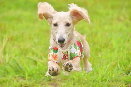 元気よく走る犬