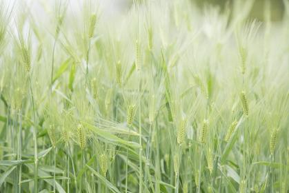 鮮やかな緑の麦畑 4月