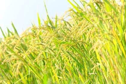 太陽の光を浴びて元気に育つ稲
