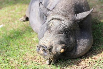 芝生に寝そべる貫禄ある1匹の黒豚の顔