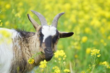 菜の花畑で菜の花を食べるヤギの顔のアップ