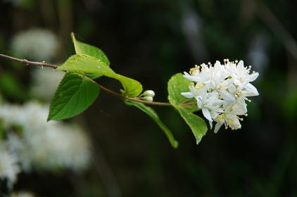 春に咲くマルバウツギ