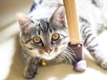 子猫,猫,ペット,メス,哺乳類,動物,キジトラ,かわいい,ネコ,生物,ねこ,可愛い,仔猫,雌,日本,生き物,屋内,ぺット,アジア,東洋,