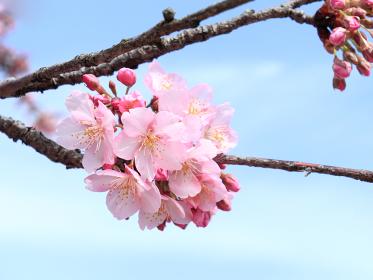 青空と河津桜 12