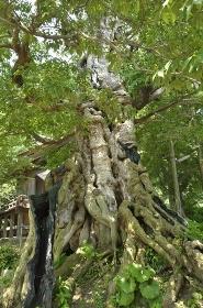 命主社のムクの木