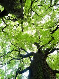 新緑の大木