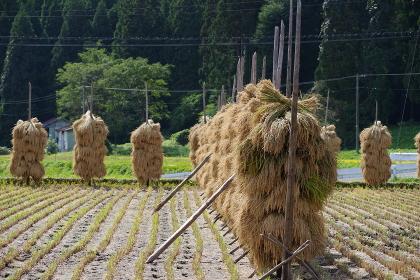 東北地方の稲の稲架掛け