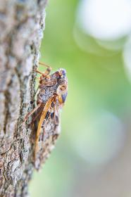 木にしがみつく蝉