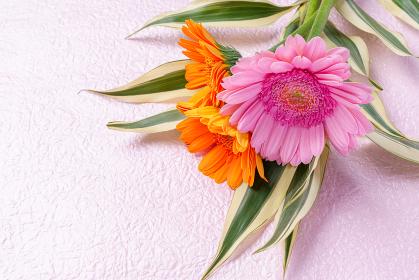 ピンクの背景にガーベラの花