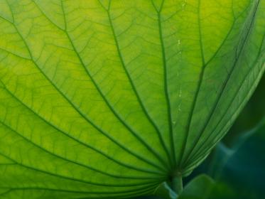 葉脈が美しい蓮の葉 7月