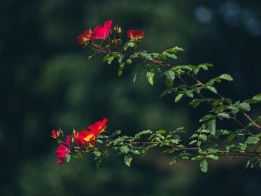 秋晴れの日の薔薇