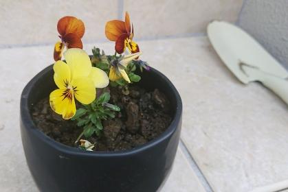 鉢に植えた黄色のビオラとスコップ