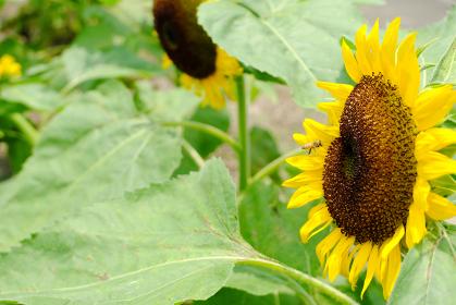 ヒマワリの前でホバリングするミツバチ