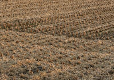 稲が刈り取られた後の夕方の田んぼ