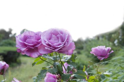青空に映えるピンク系の色のバラ