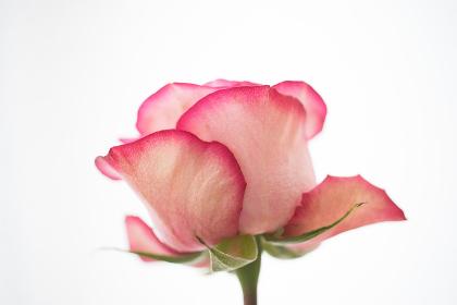 薔薇(バラ)・横アングル・白背景(白バック)