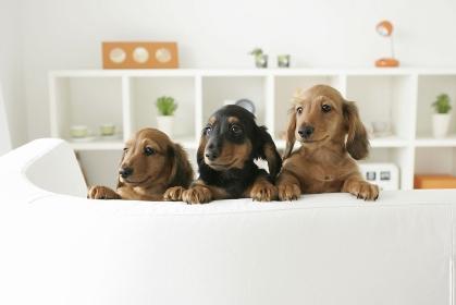 ソファーで寛ぐ可愛い子犬たち