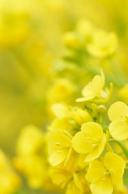 菜の花の花びらのクローズアップ