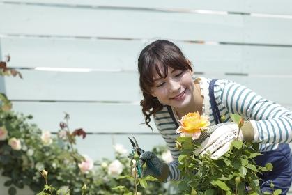 バラの咲く庭でガーデニングを楽しむ女性