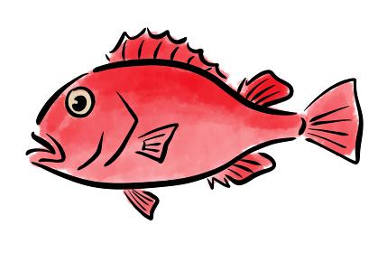 キンキ キチジ 魚 筆 手描き