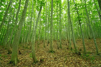 安比高原のブナ林