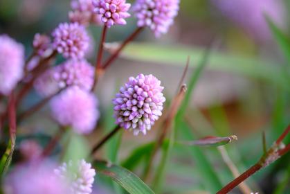 草の中で生きるアカツメクサのアップ