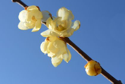 冬の日差しに輝く蝋梅の花