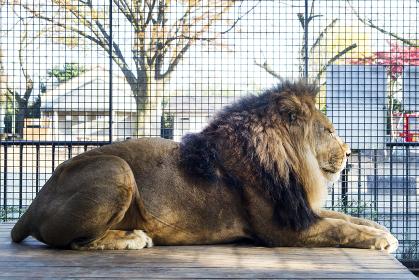 まつ毛が印象的なライオンの横顔