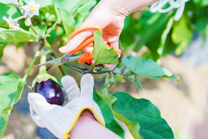 収穫期の国産のナス【秋イメージ】