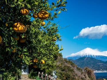 静岡県 冬晴れの青空とみかんが実る薩埵峠の風景 12月
