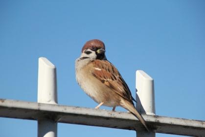 動物ポートレート:青空背景の一羽のスズメ雀の写真