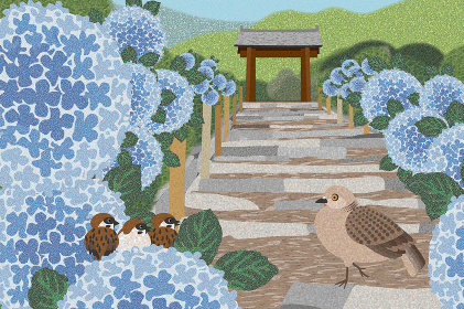 紫陽花の花咲く明月院 イラスト