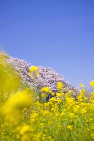 桜 菜の花