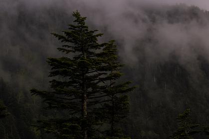 針葉樹の森が霧の向こうに現れる