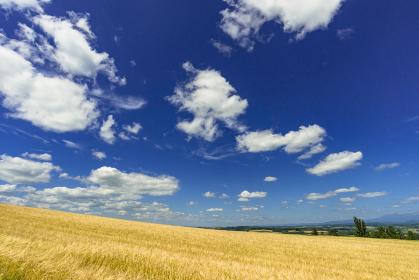 道東地方の麦畑