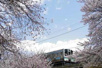 桜並木の中を走る電車