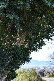 白椿咲く山の辺の道