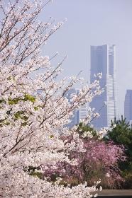 桜とランドマークタワー遠望