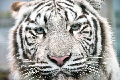 ホワイトタイガーの顔