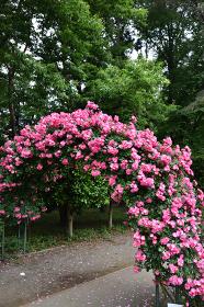 バラのゲート、アンジェラ、真岡市、井頭公園、栃木県