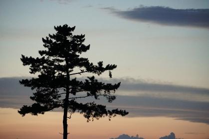 一本の松の木のシルエット、宮城県名取市