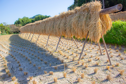 稲刈りした後の田んぼと掛け干し米