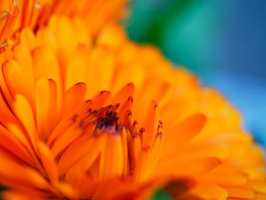 オレンジ色の鮮やかな花キンセンカ