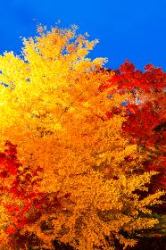 ライトアップされた紅葉の木 秋イメージ