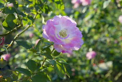 ピンク系の色のバラ