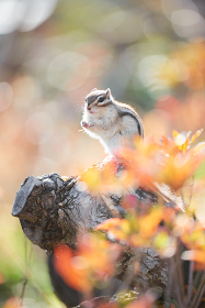紅葉の背景に木の上に立っているシマリス