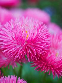 ピンク色の花ヒナギクのアップ