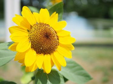 お日様の方を向いたひまわりの花
